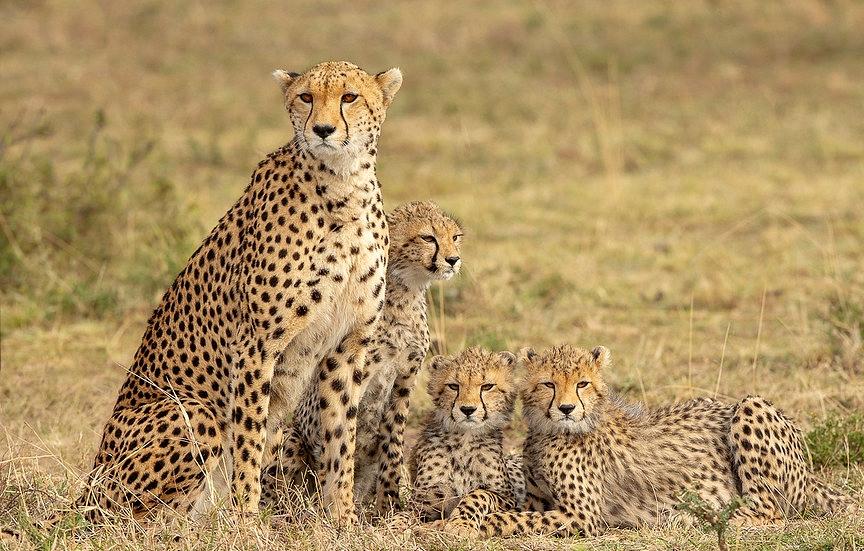 Gepardí rodinka na pláních Masai Mara