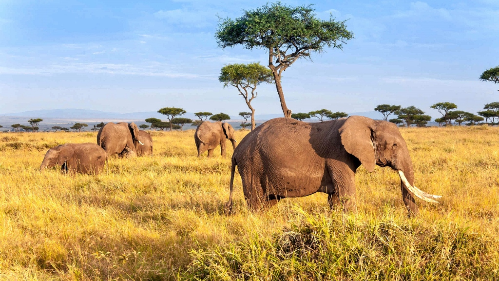 Narazit na slony v Masai Mara není těžké.