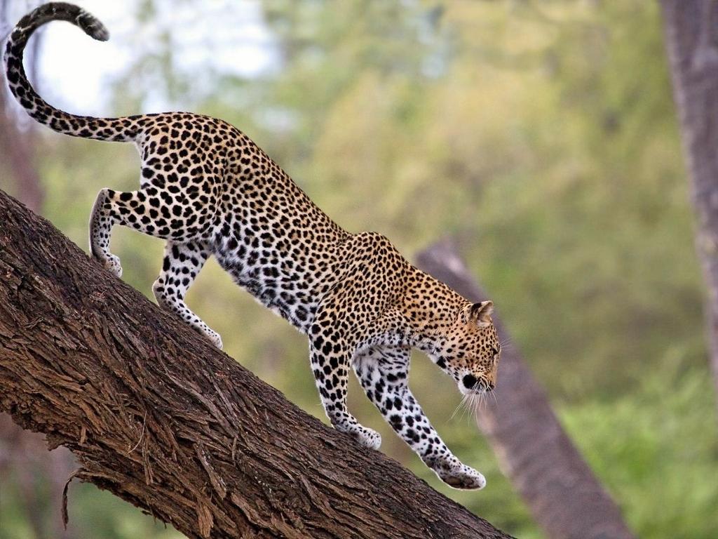 Buffalo Springs je dobrým místem pro pozorování leopardů