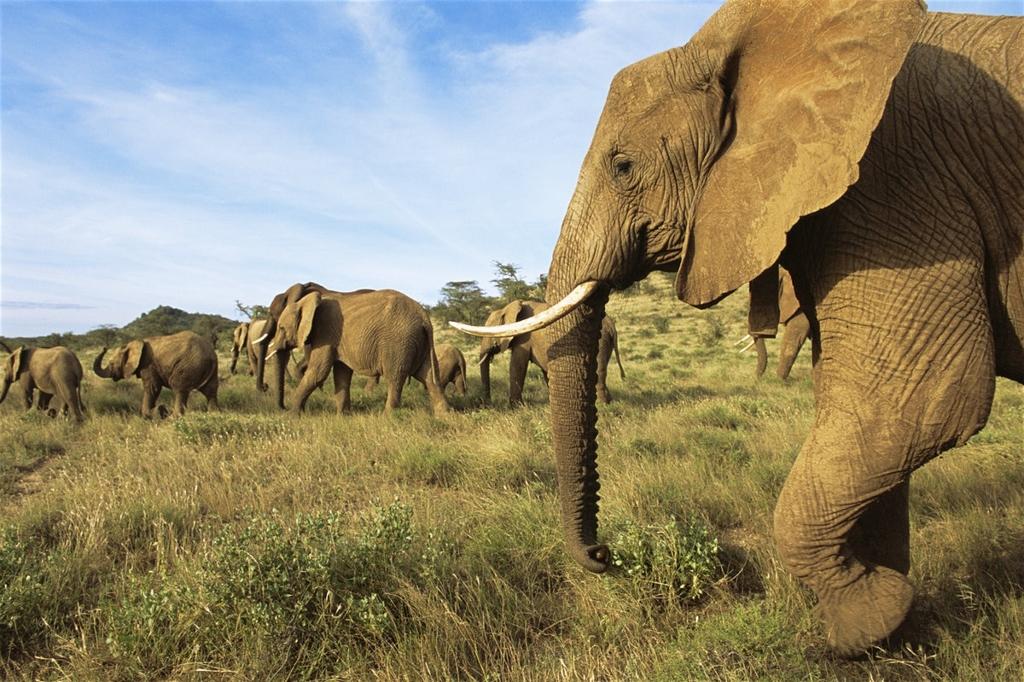 Sloni se v rezervaci Buffalo Springs vyskytují běžně