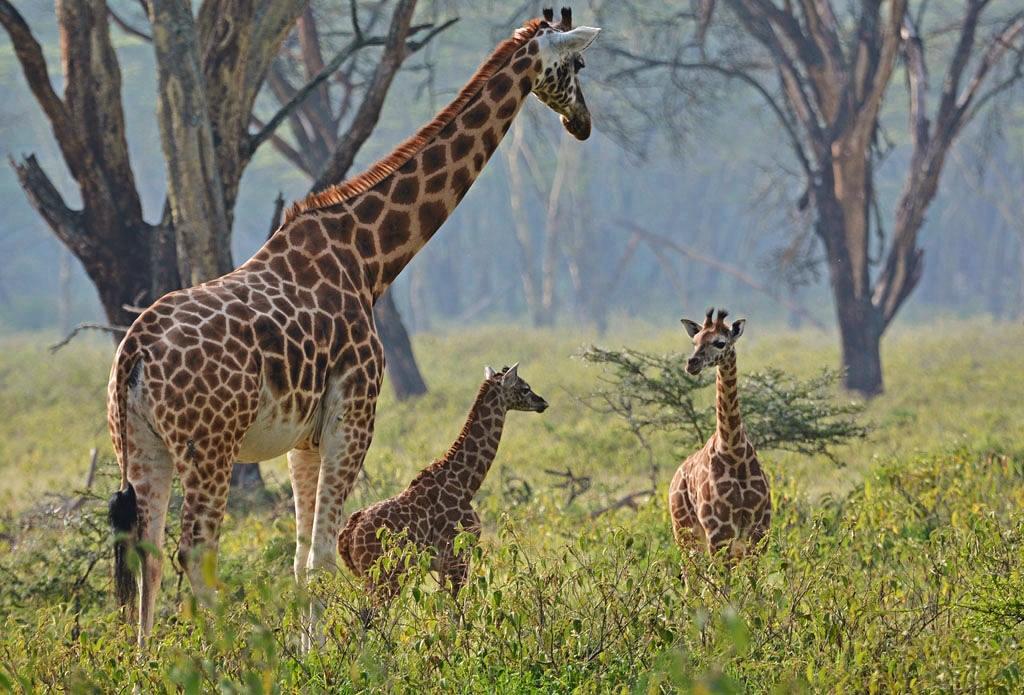 Rothschildovy žirafy v parku Lake Nakuru