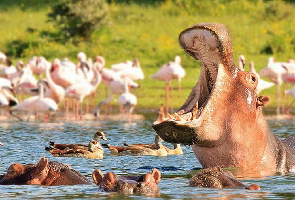 Hroši v jezeře Naivasha