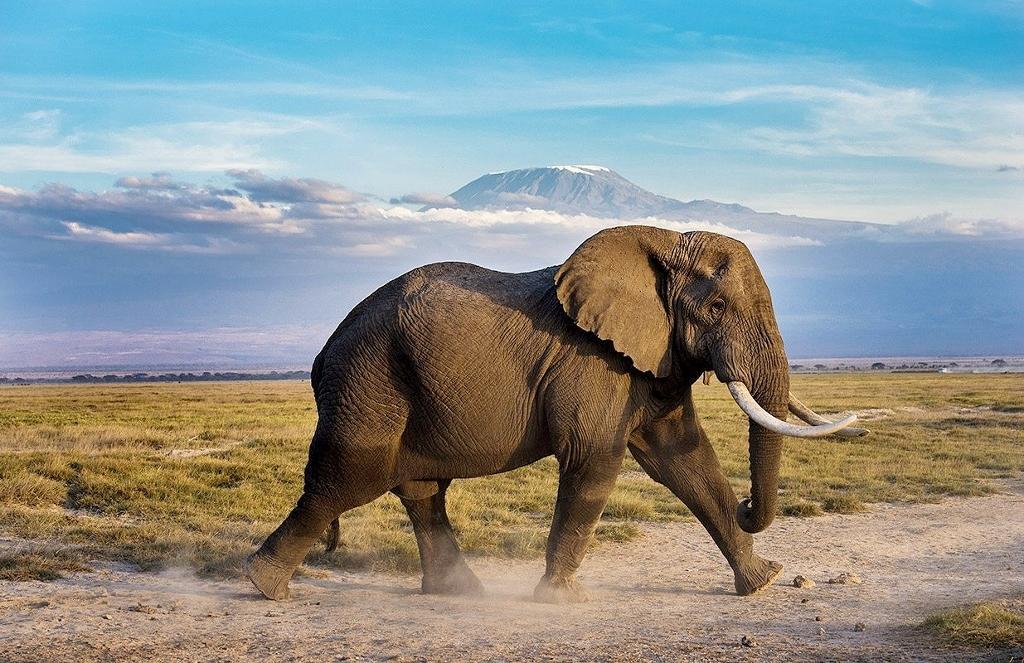 Na slony narazíte v národním parku Amboseli na každém kroku