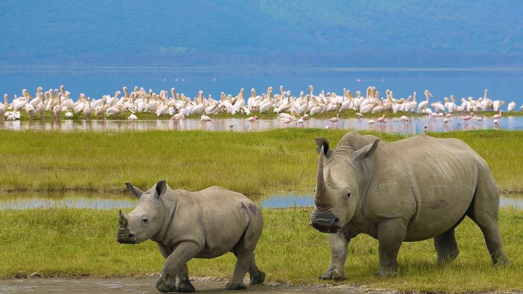 Nosorožci a pelikáni v okolí jezera Nakuru