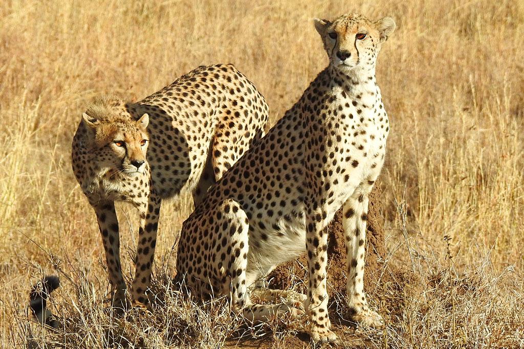 Chráněná rezervace Ol Pejeta je domovem mnoha predátorů