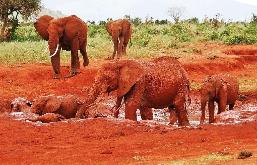 """""""Červení"""" sloni pohybující se v parcích Tsavo"""