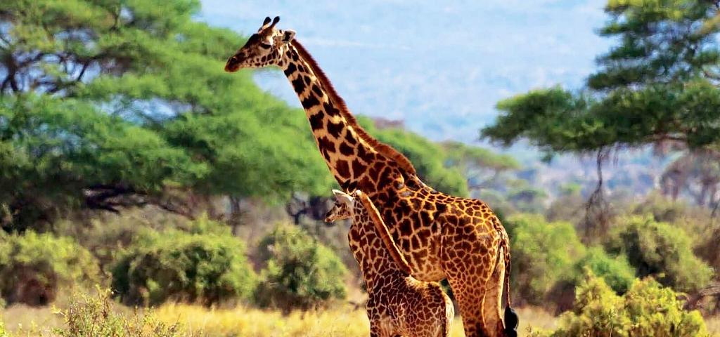 Žirafy v národním parku Amboseli