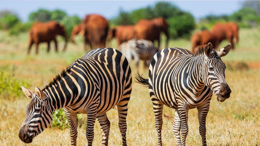 Zebry jsou krásná zvířata