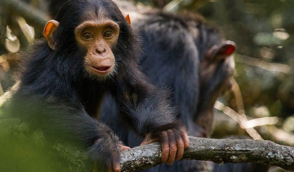 Šimpanzi ze záchranné stanice Sweetwaters v parku Ol Pejeta