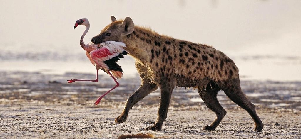 I plameňáci jsou vítaným úlovkem pro hyeny.