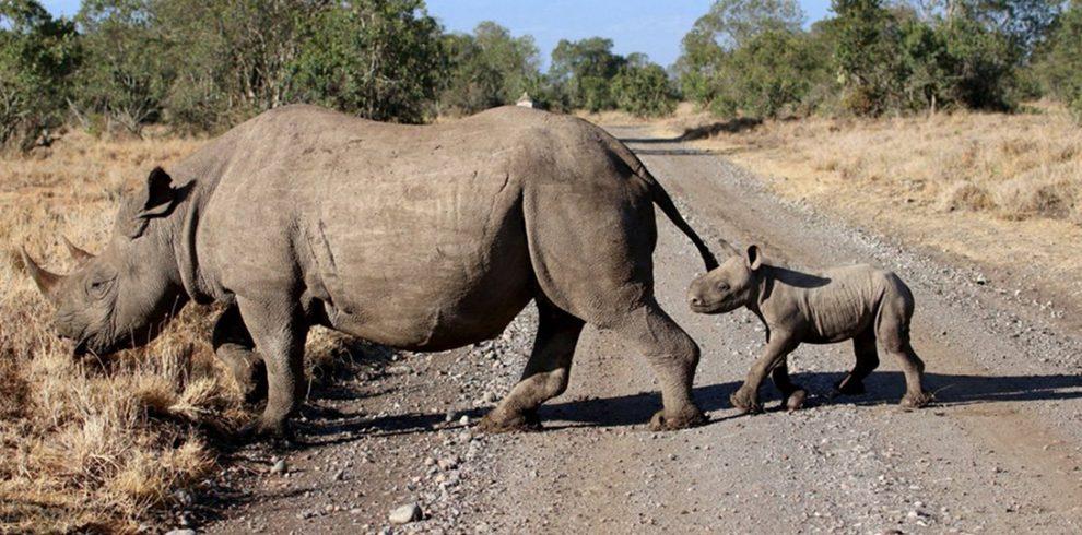V Ol Pejeta původní druh nosorožec dvourohý